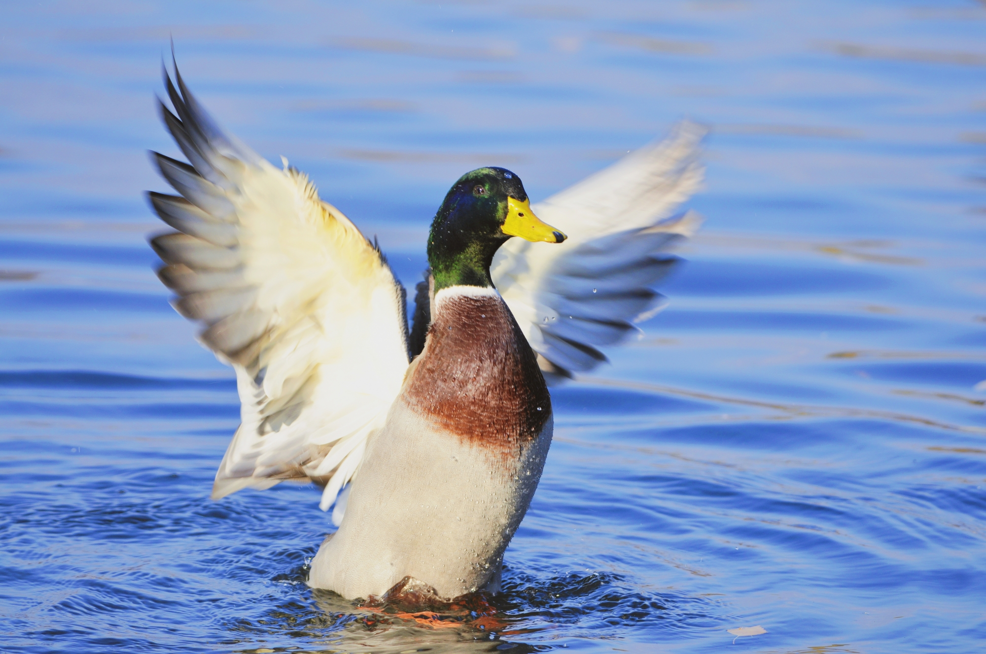 A mallard spreads its wings as it rises out of the water