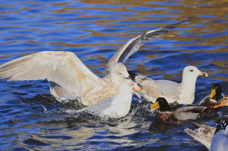 A large gull bites the head of a smaller gull as a mallard looks on in a race for food