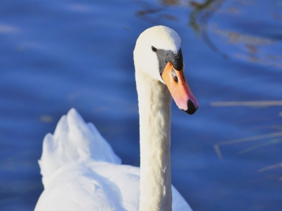 A photo of a swan sat upon a lake