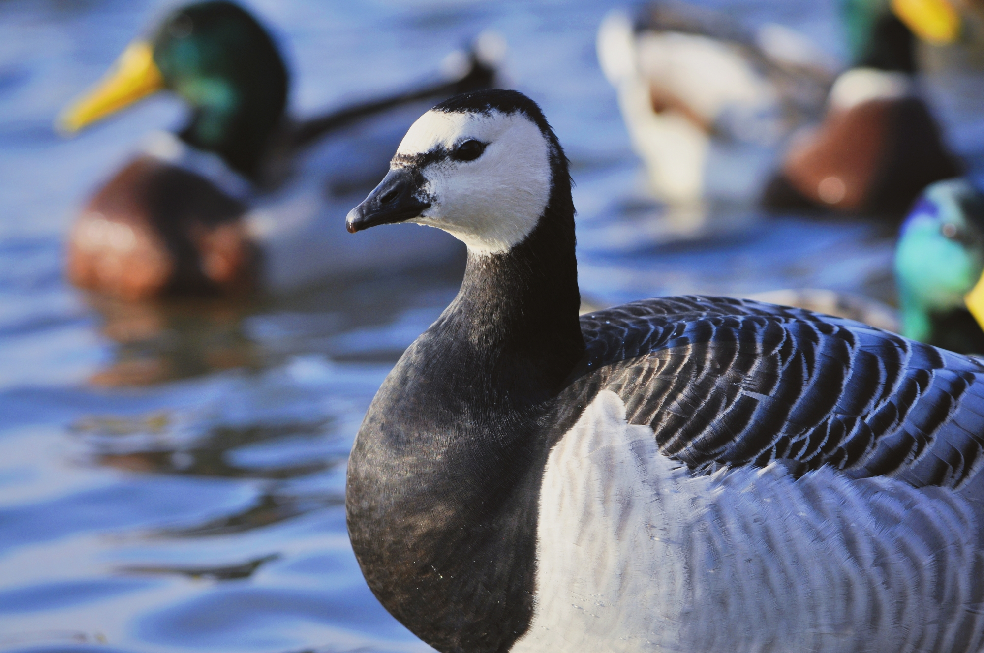 A close up of a barnacle goose