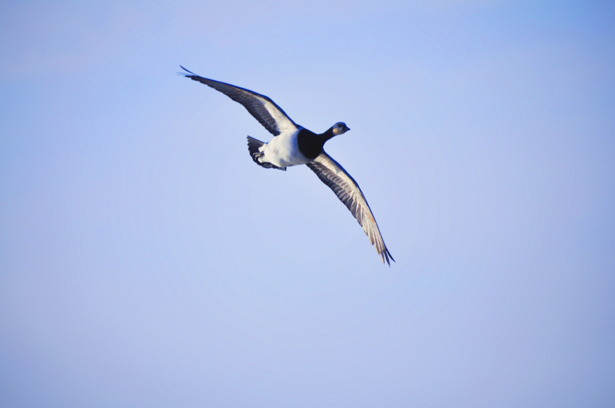 A barnacle goose soars through the air