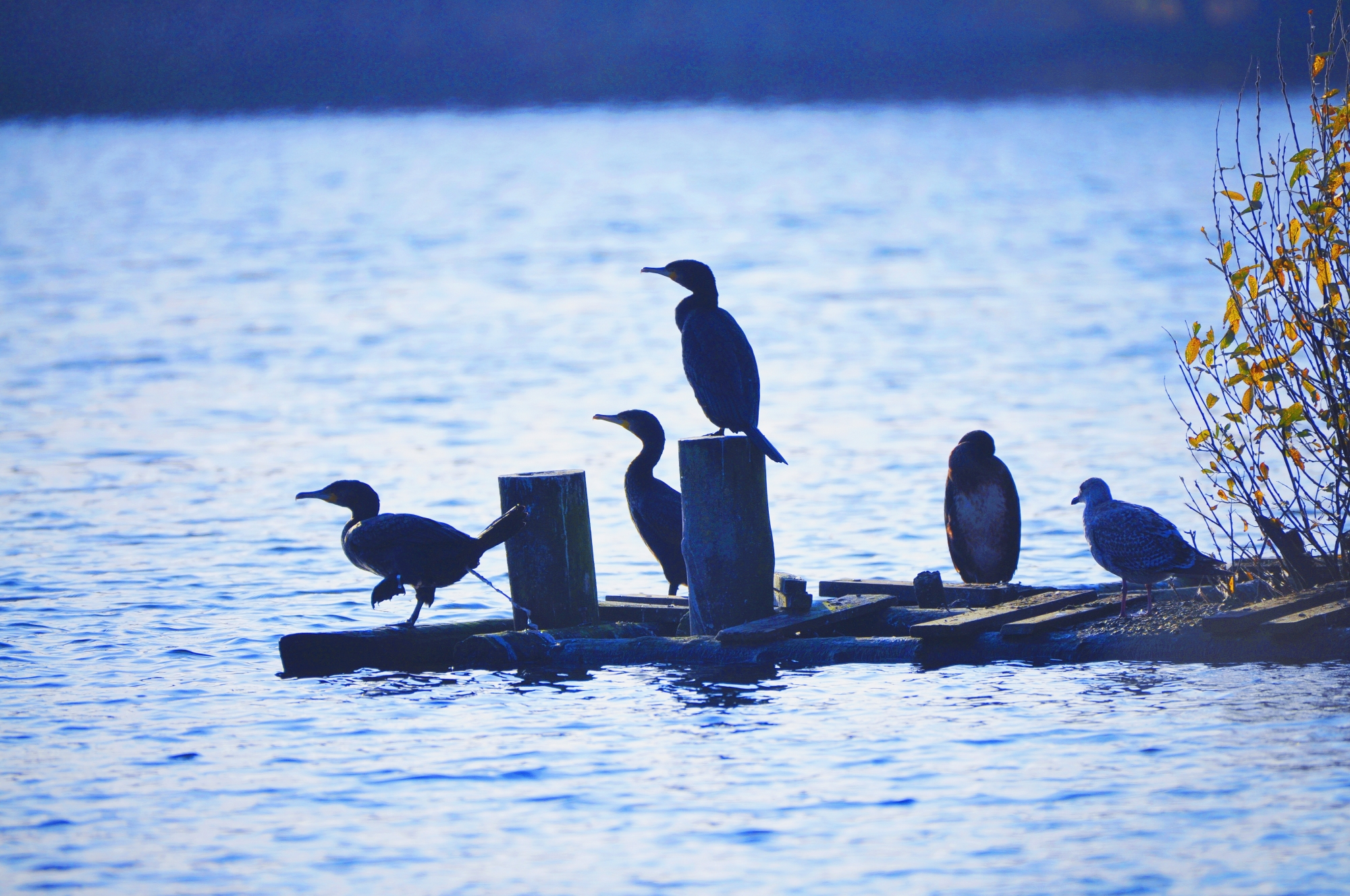 A small collection of cormorant gathered on an island