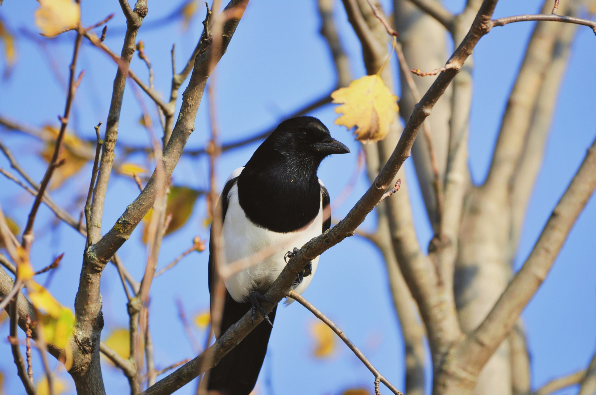 A close-up photo of a magpie in the trees