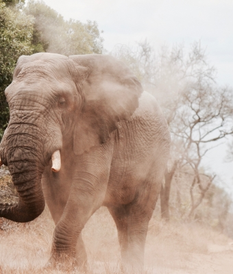 A relatively close-up photo of an elephant in the middle of a dusty road. It's legs look like the elephant is stomping toward the camera as dust swirls around the animal.