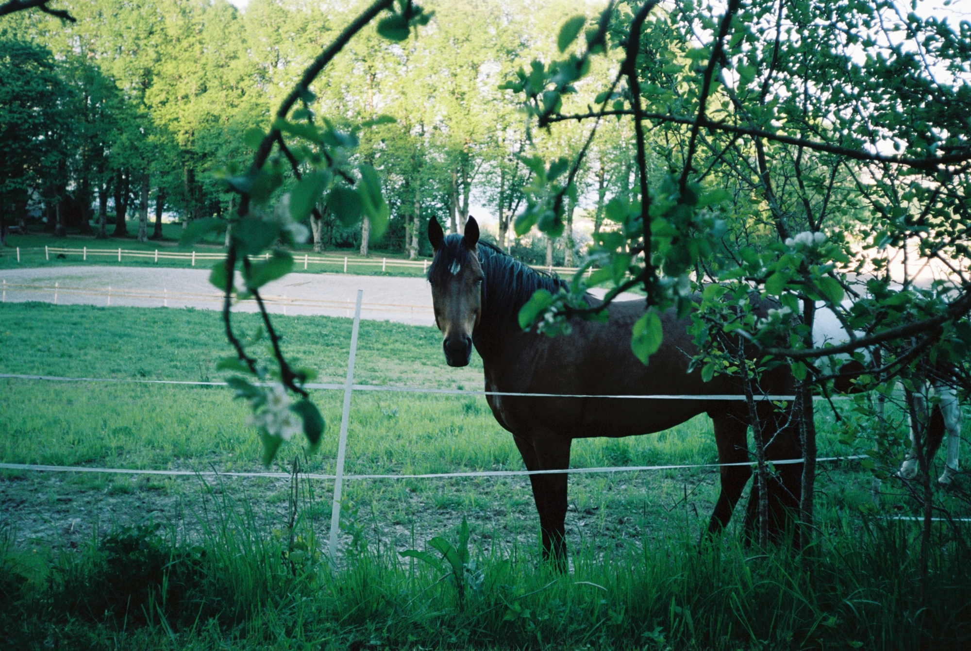 A horse standing in a field, close to the photographer, but behind a fence.