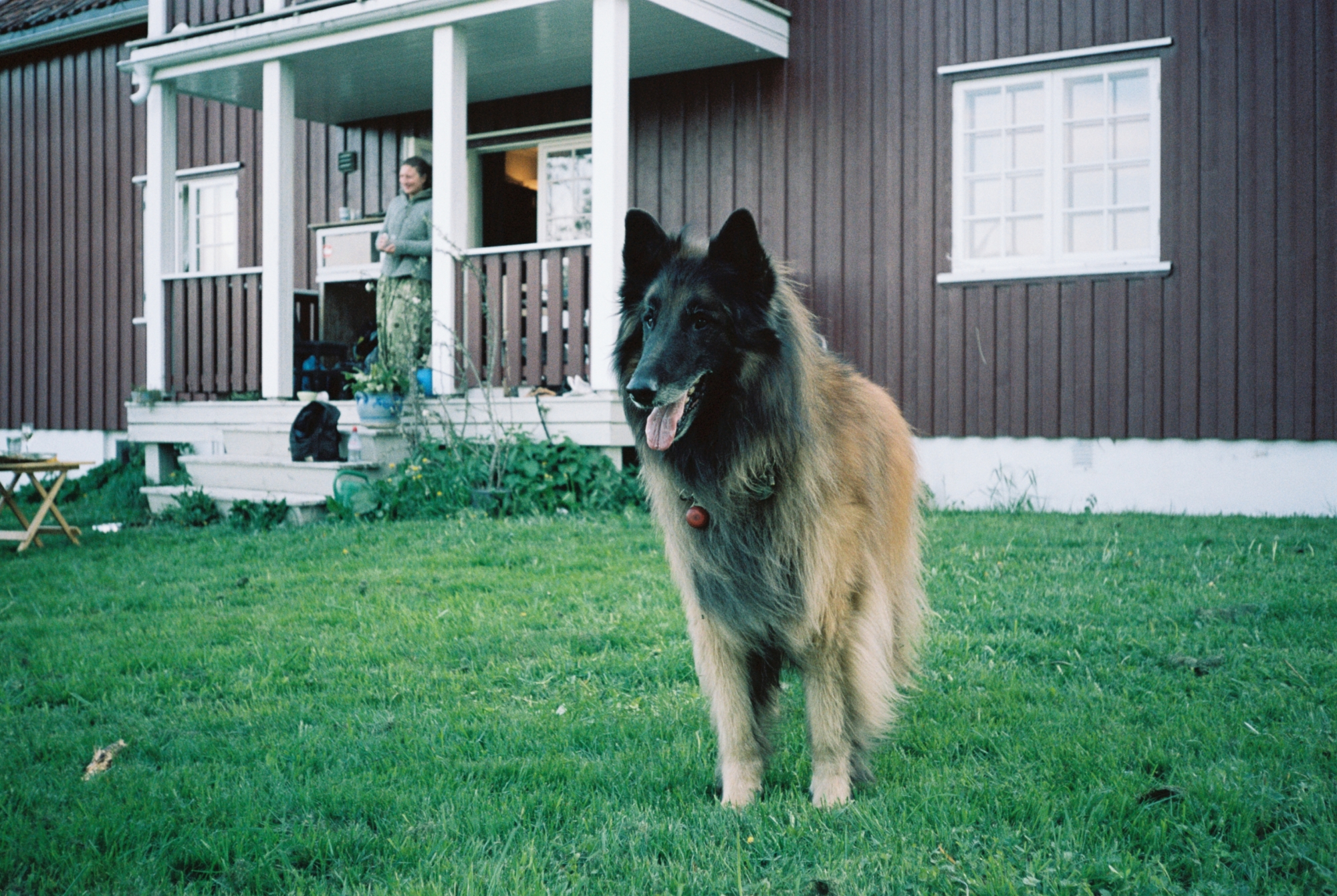 A dog stands in front of a wooden house. It's a big dog. Looks more like a wolf.
