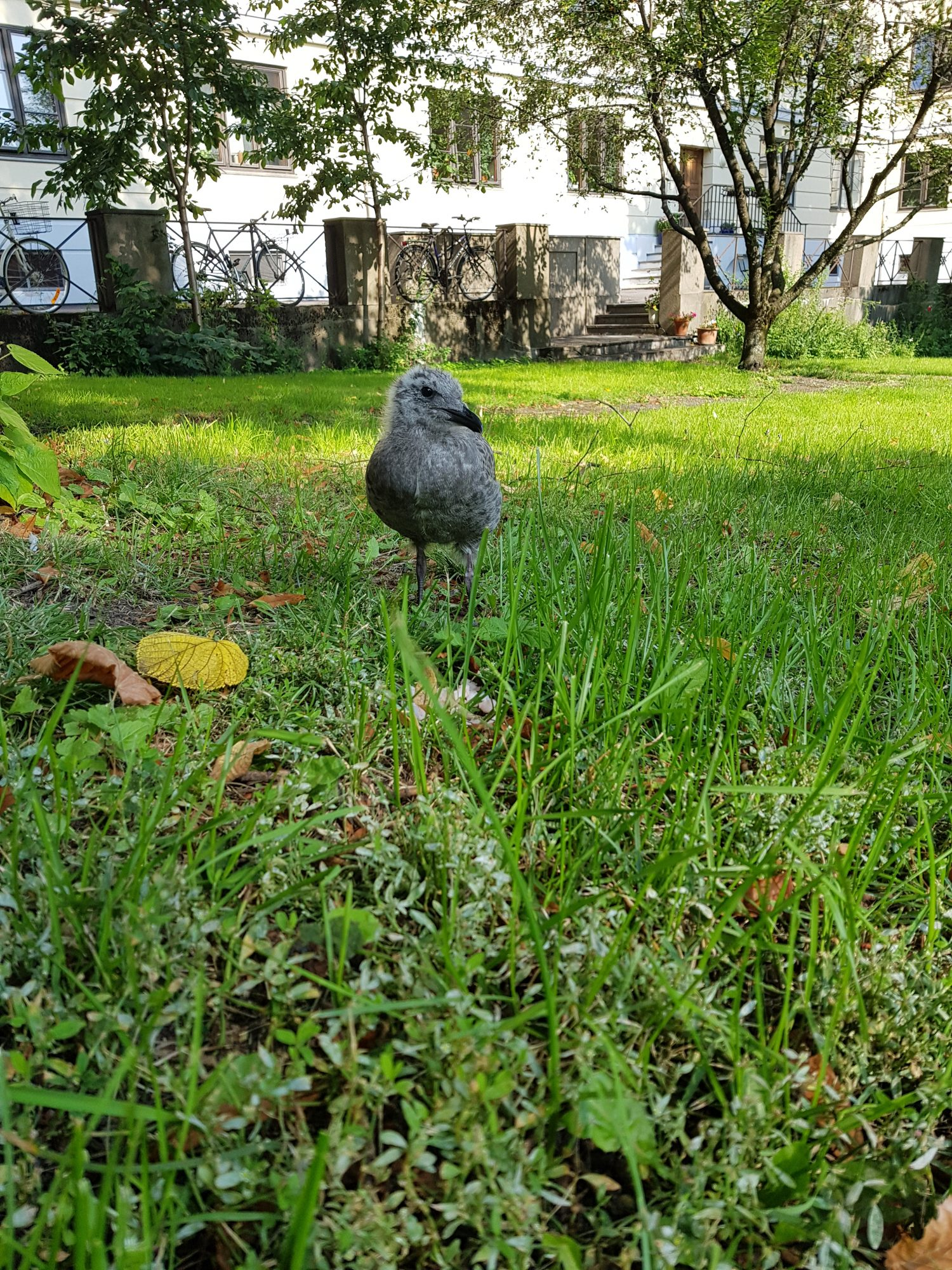 A baby seagull stood in the grass
