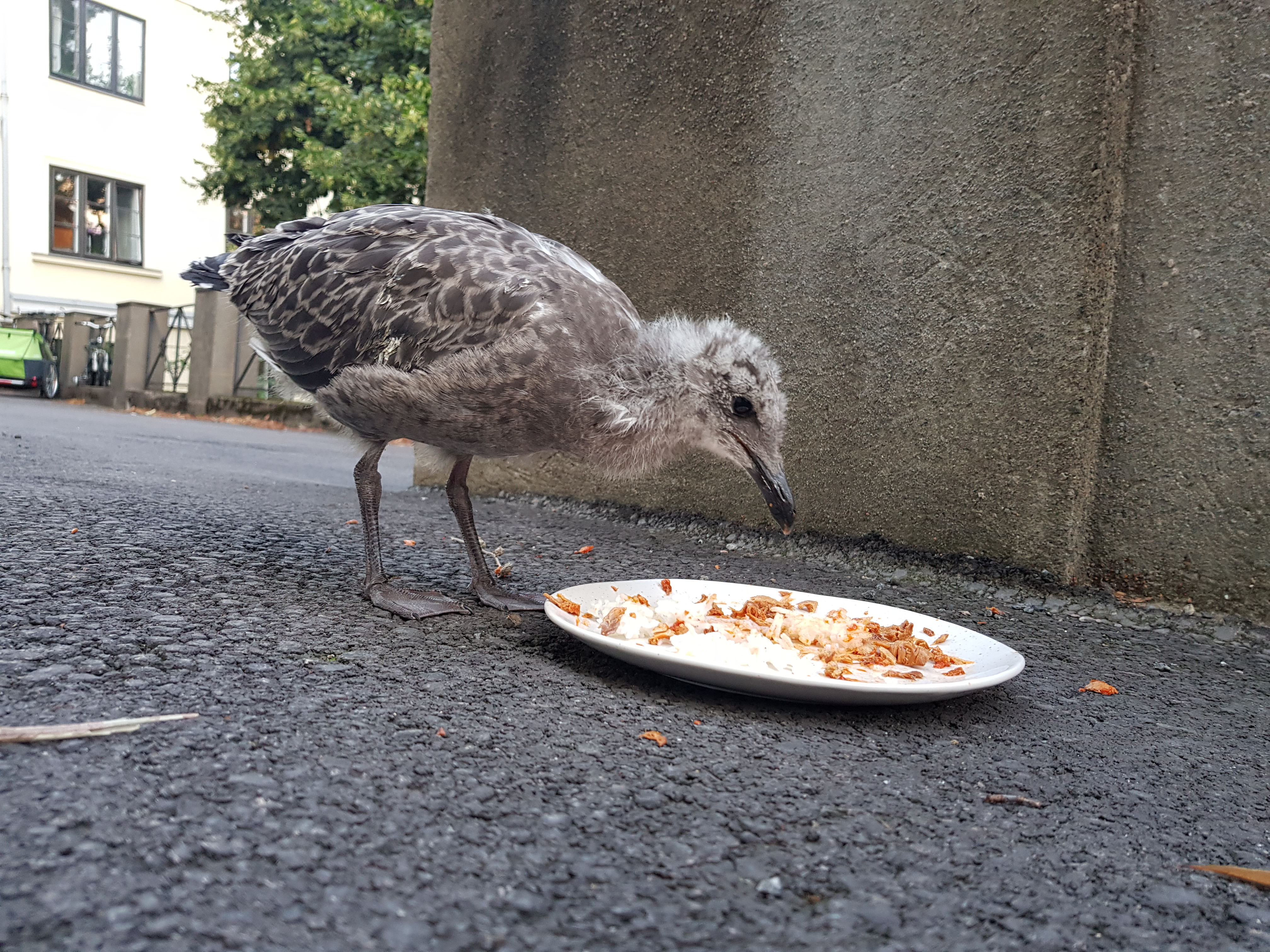 A photo of a baby seagull eating fish from a plate