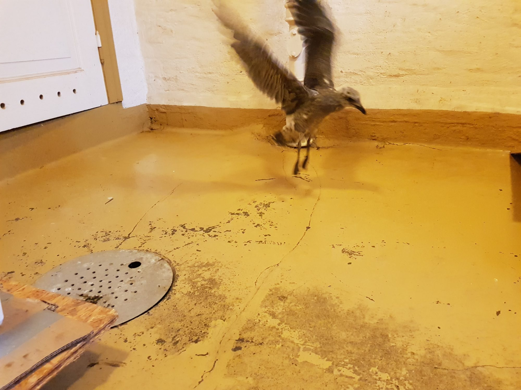 A photo of a bird in a basement, flapping his wings in an attempt to fly.