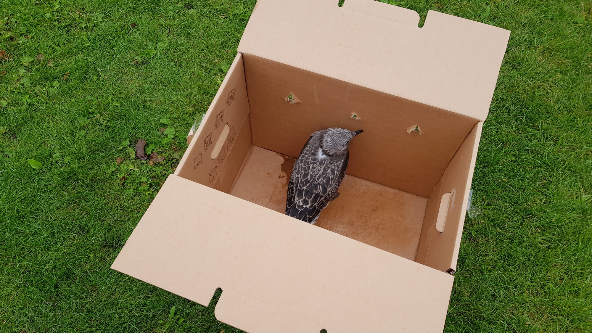 A photo of a baby seagull sat in a cardboard box, placed on a grass surface