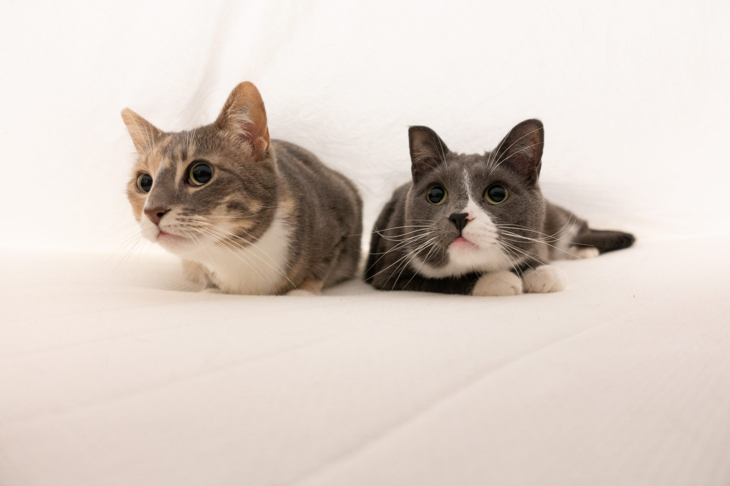 A photo of two cats under the bedsheets, looking playful and cute.