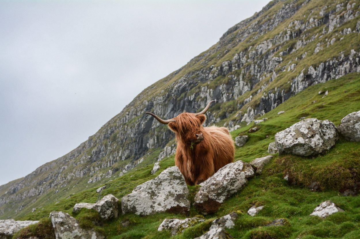 A photo of a cow on a hillside